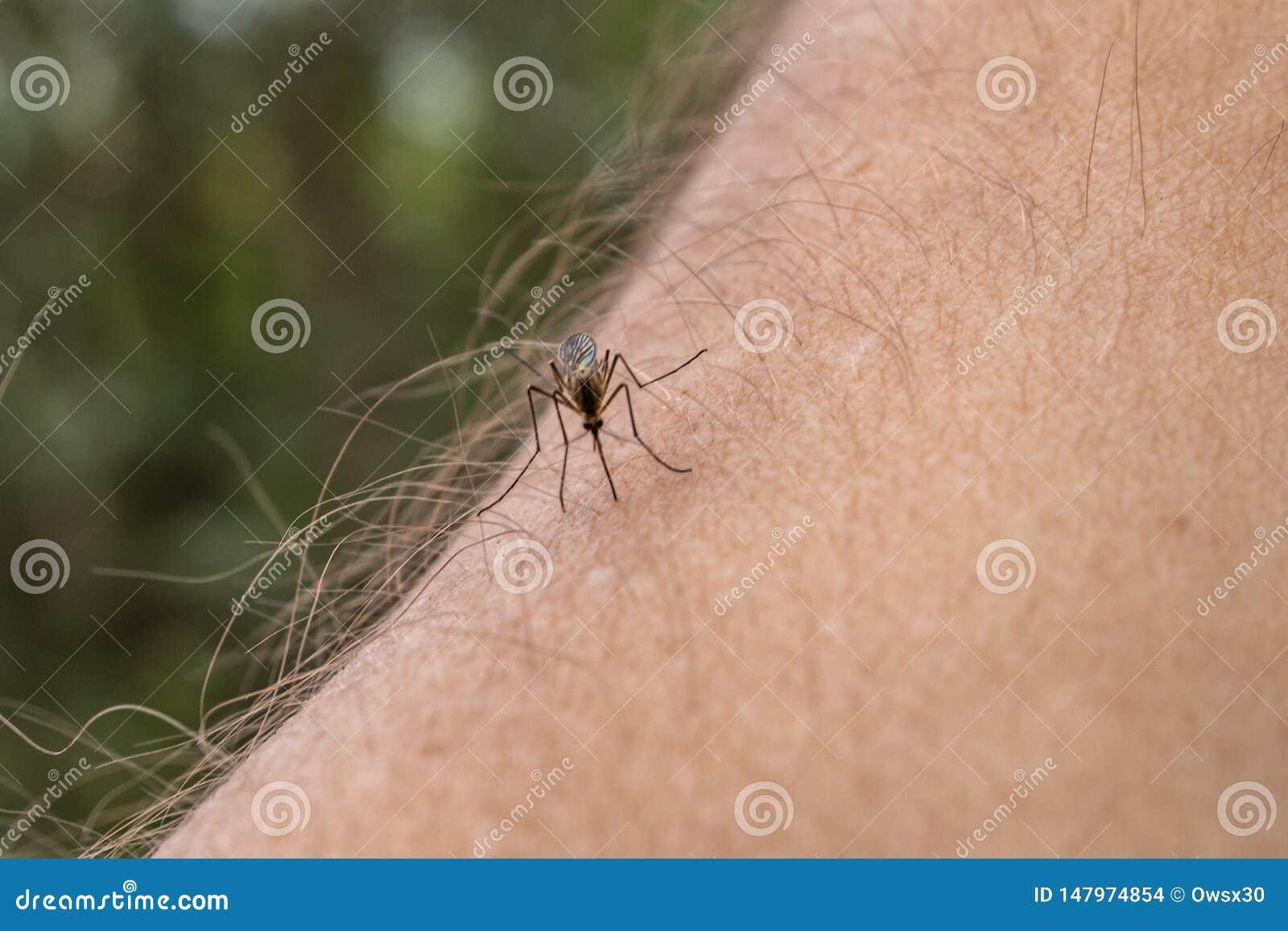 Una zanzara si siede sulla mano, perfora la pelle e succhia il sangue umano Causa la malaria di malattia Le zanzare sono pericolo