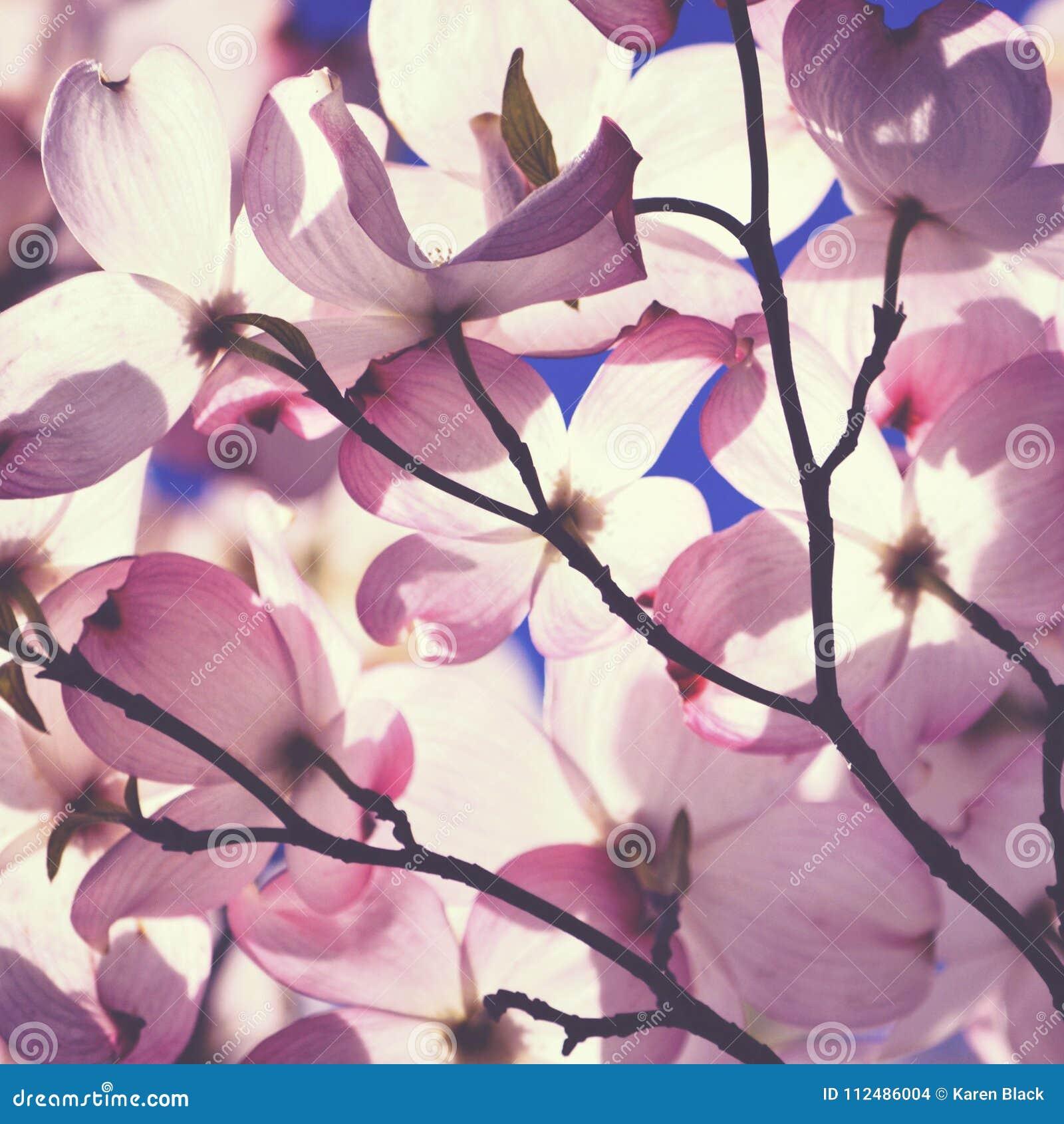 Close Up Of Pink Dogwood Flowers Stock Photo Image Of Botanical
