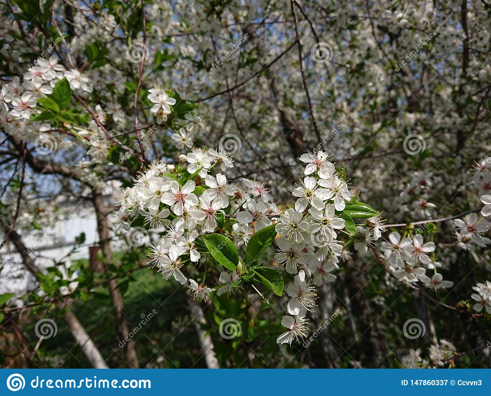 Hot beginning of May. Under Kazan bloomed gardens. Bumblebees and bees willingly collect nectar. Branch, blossom.