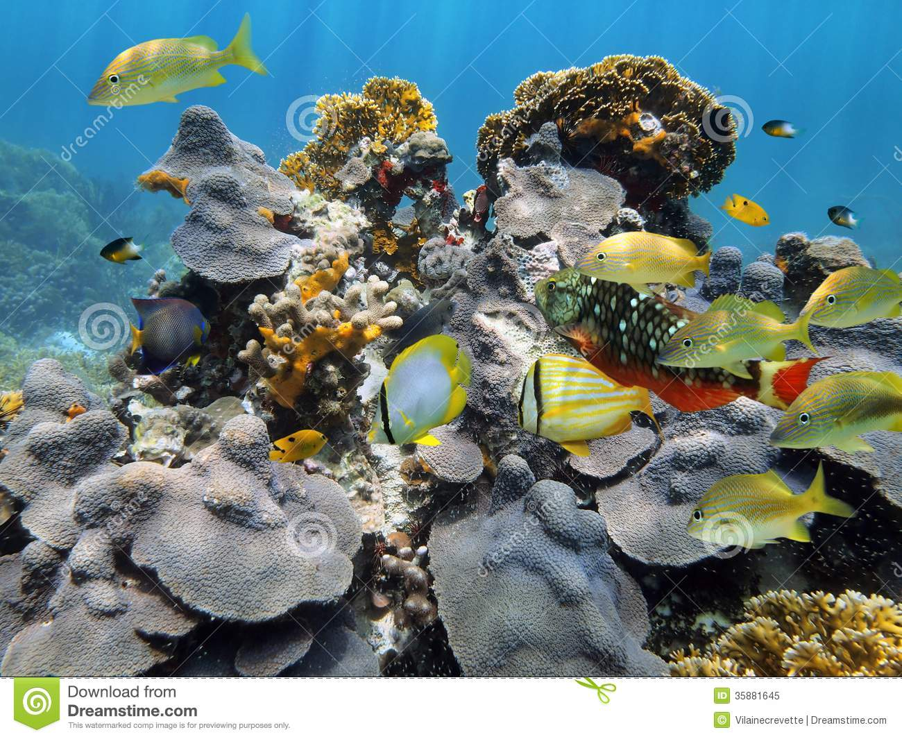 Under water coral and reef fish royalty free stock photo for Caribbean reef fish