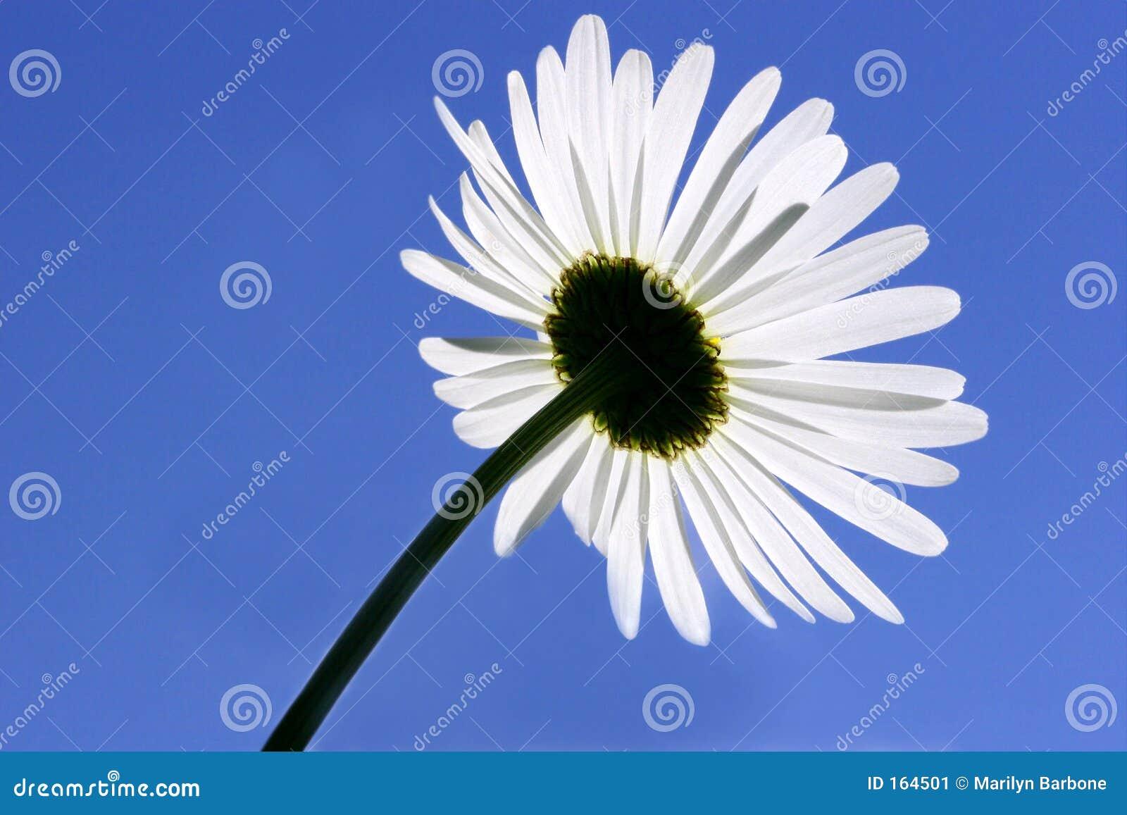 Underneath The Daisy