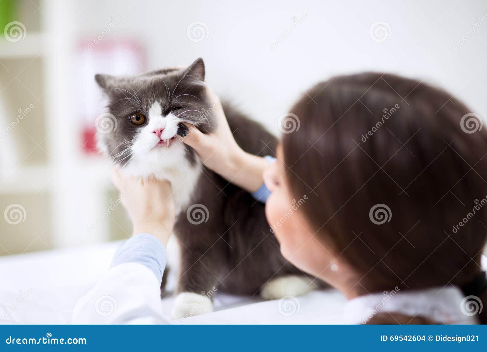 Undersökande Tänder För Veterinär Av En Katt Medan Göra