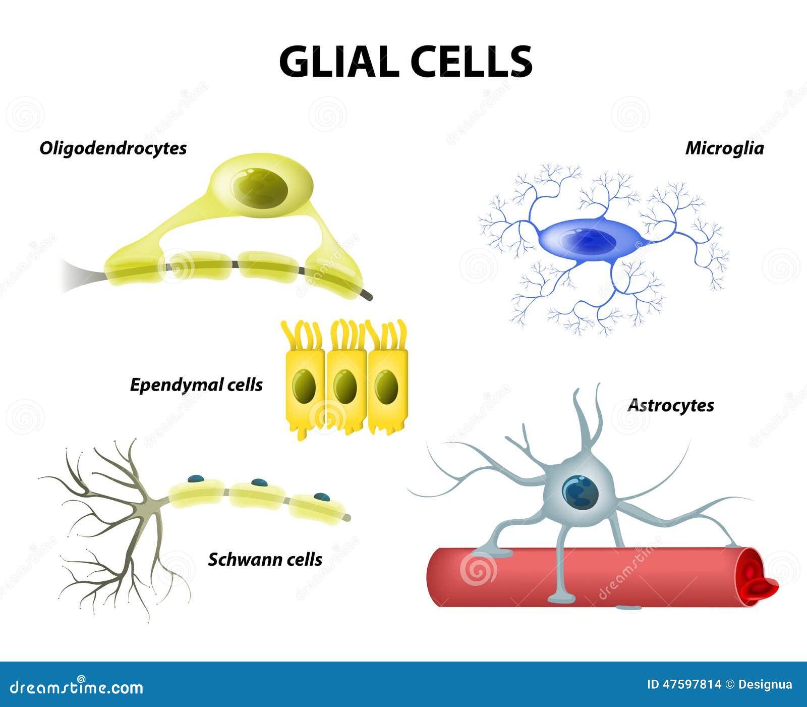 Schwann celler