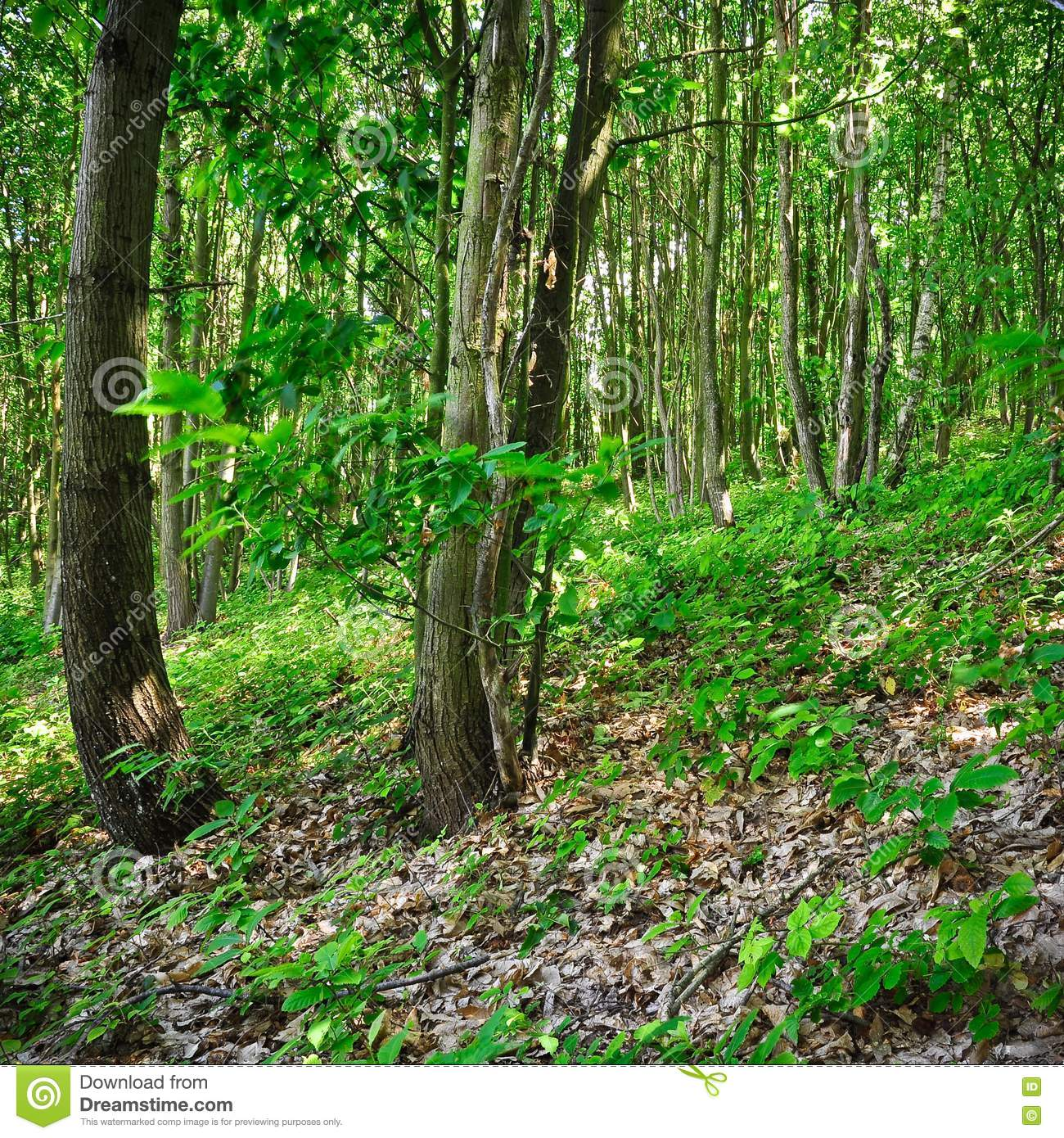 Understory In Summer Stock Photos - Image: 20080463