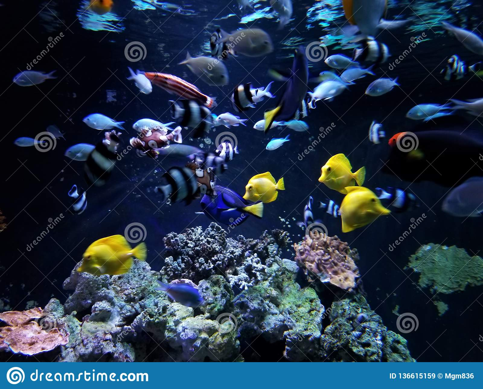 Undervattens- Coral Reef Feeding Frenzy