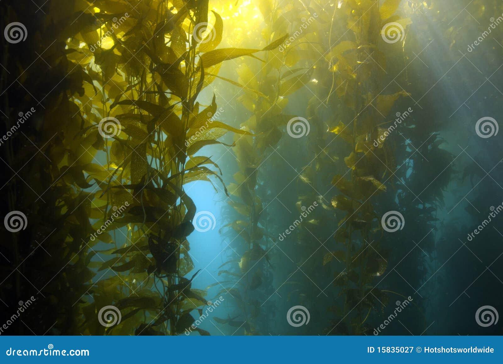 Undervattens- kelp för Kalifornien catalina skogö