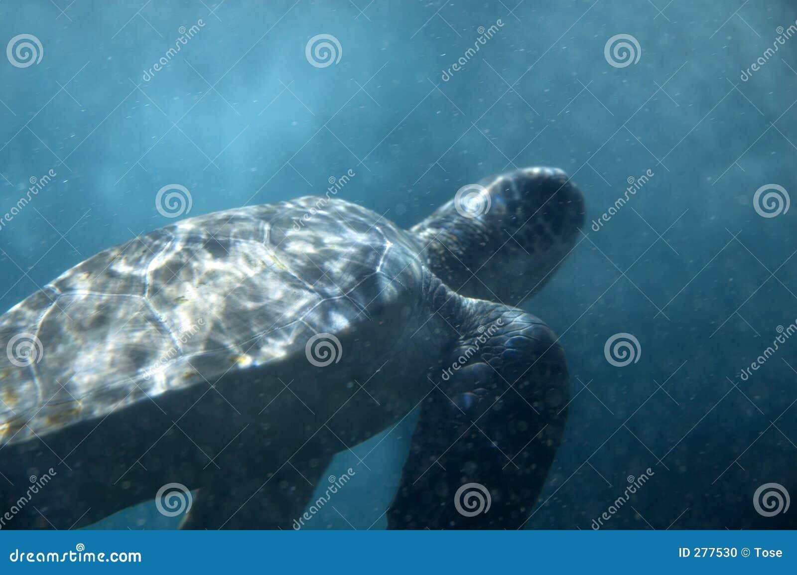 Undervattens- sköldpadda