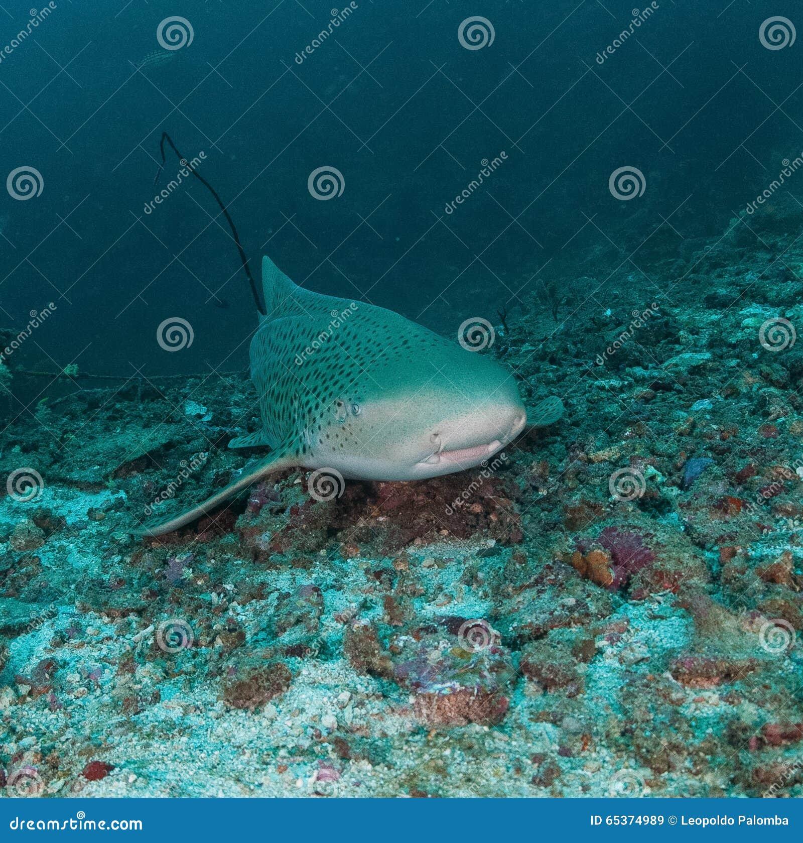 Undervattens- val för haj
