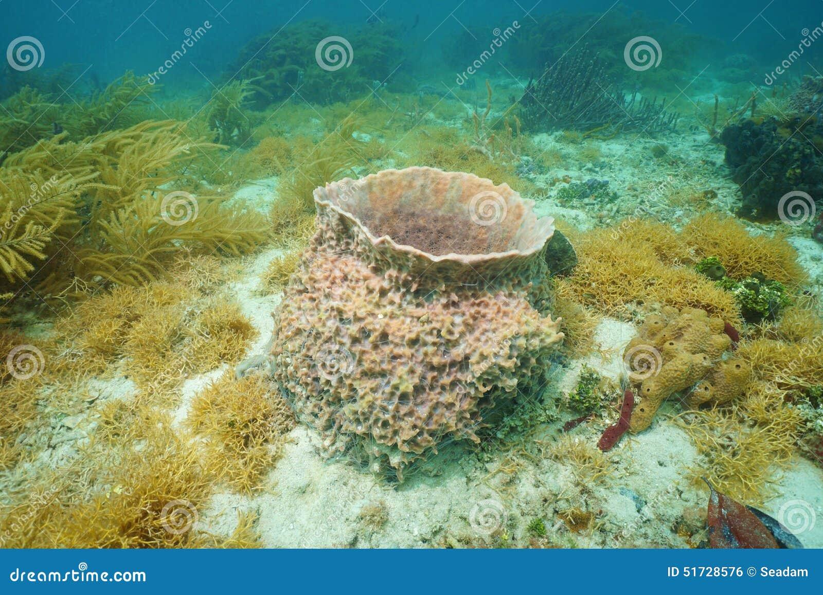 Caribbean Sea Creatures: Underwater Creature Giant Barrel Sponge Stock Photo