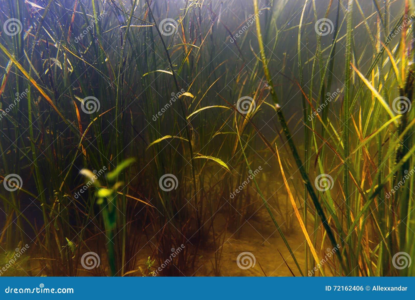 Underwater de água doce da flora da água do pântano