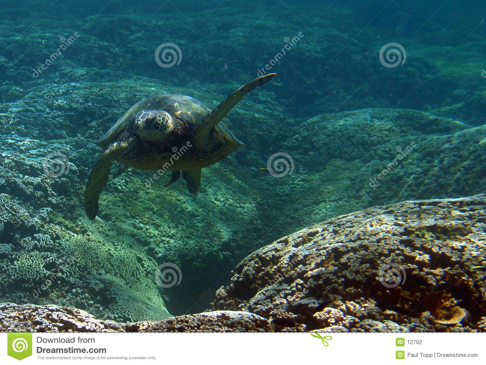Underwater Green Sea Turtle