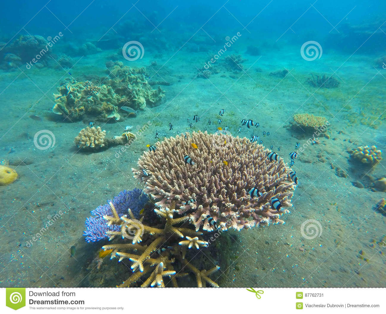Small Neon Blue Coral Fishes Tropical In Wild Nature Damselfish Colony Sea Bottom With Young Ecosystem Tropic Snorkeling