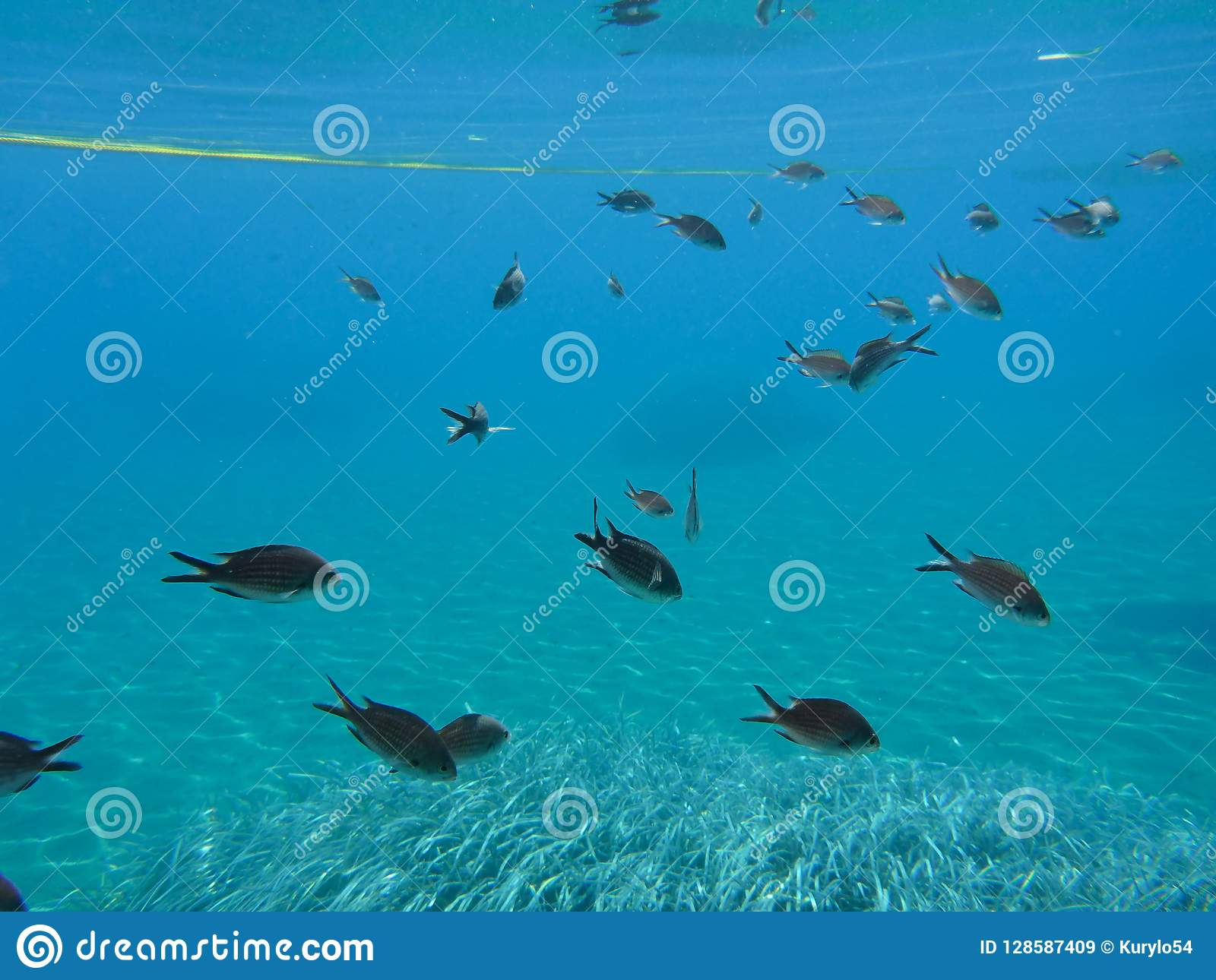 Underwater life kalogries, damselfish or Mediterranean Chromis in Kolona double bay Kythnos island Cyclades Greece, Aegean sea.