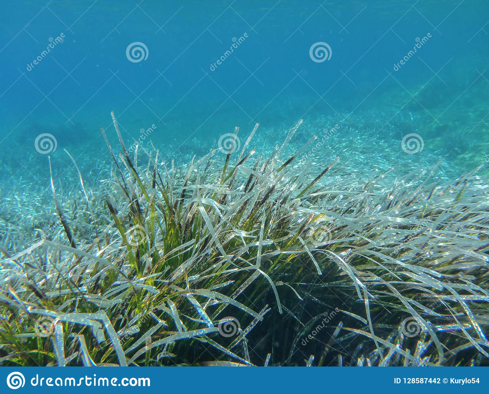 Underwater life - water plants in Kolona double bay Kythnos island Cyclades Greece, Aegean sea.