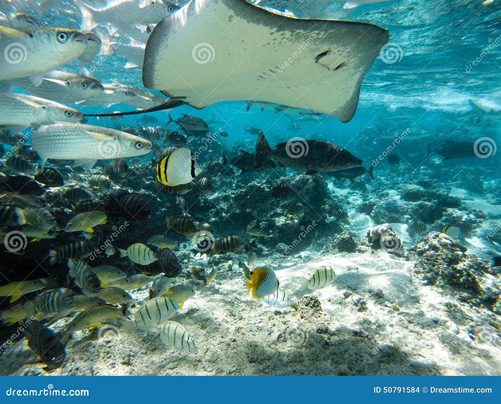 underwater sea creatures stingray in tahiti stock photo image