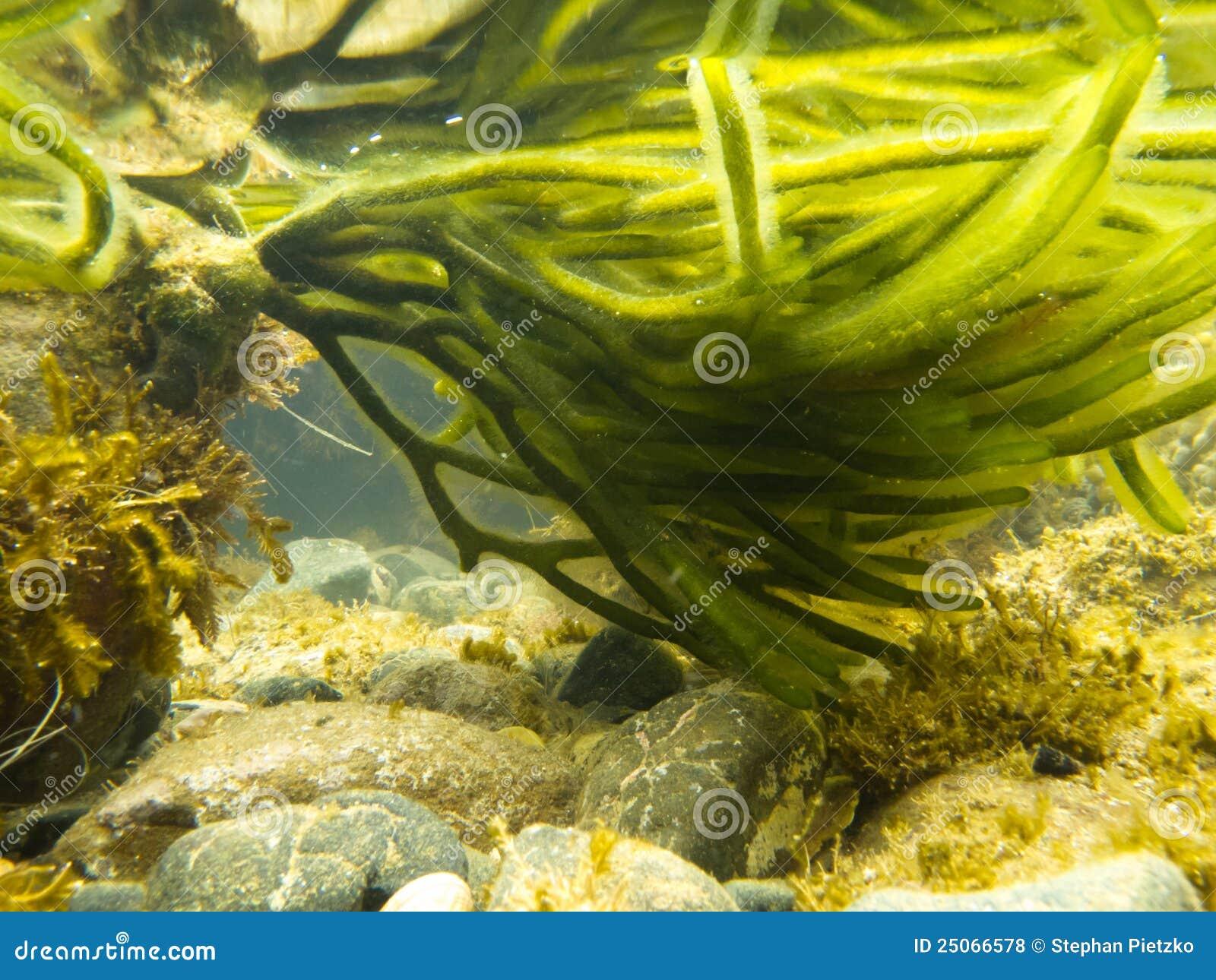 underwater shot of green seaweed attached to rock royalty seaweed vector download seaweed vector background
