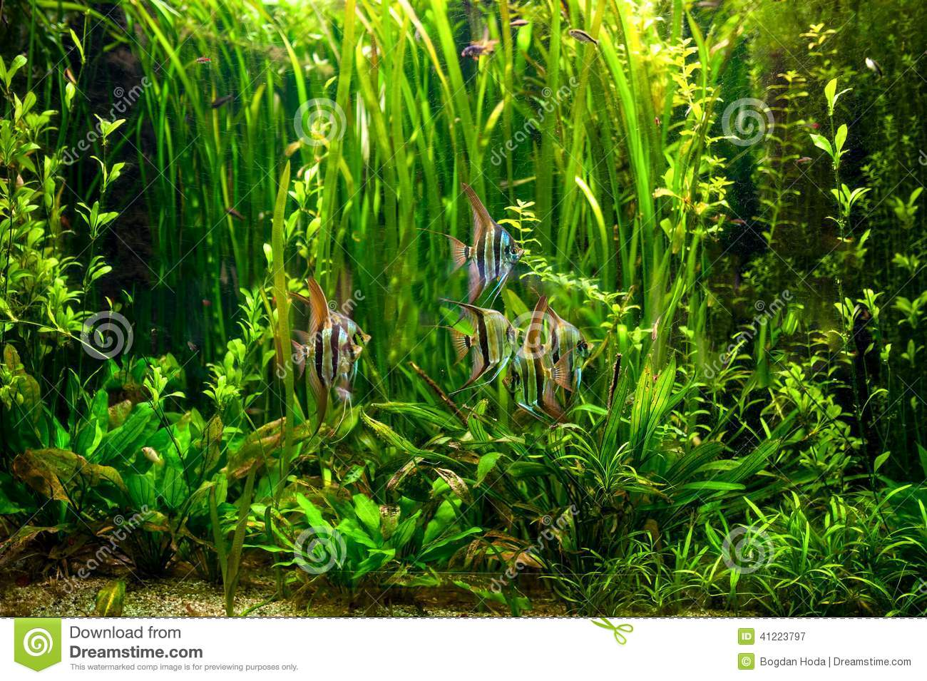 Undewater green alga aquatic plants and fishes stock for Underwater pond plants