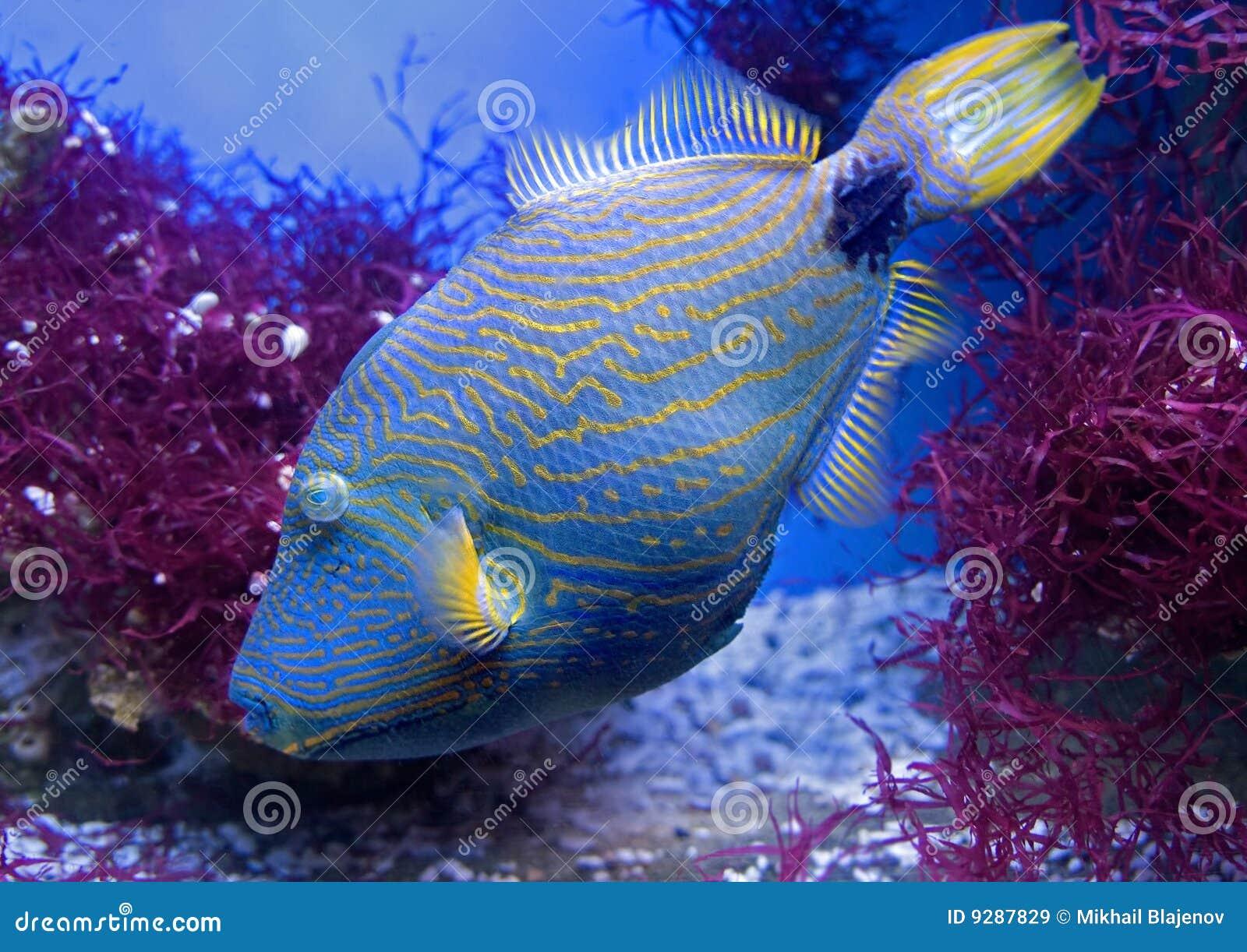 undulate triggerfish 1 stock image image of multicolored 9287829