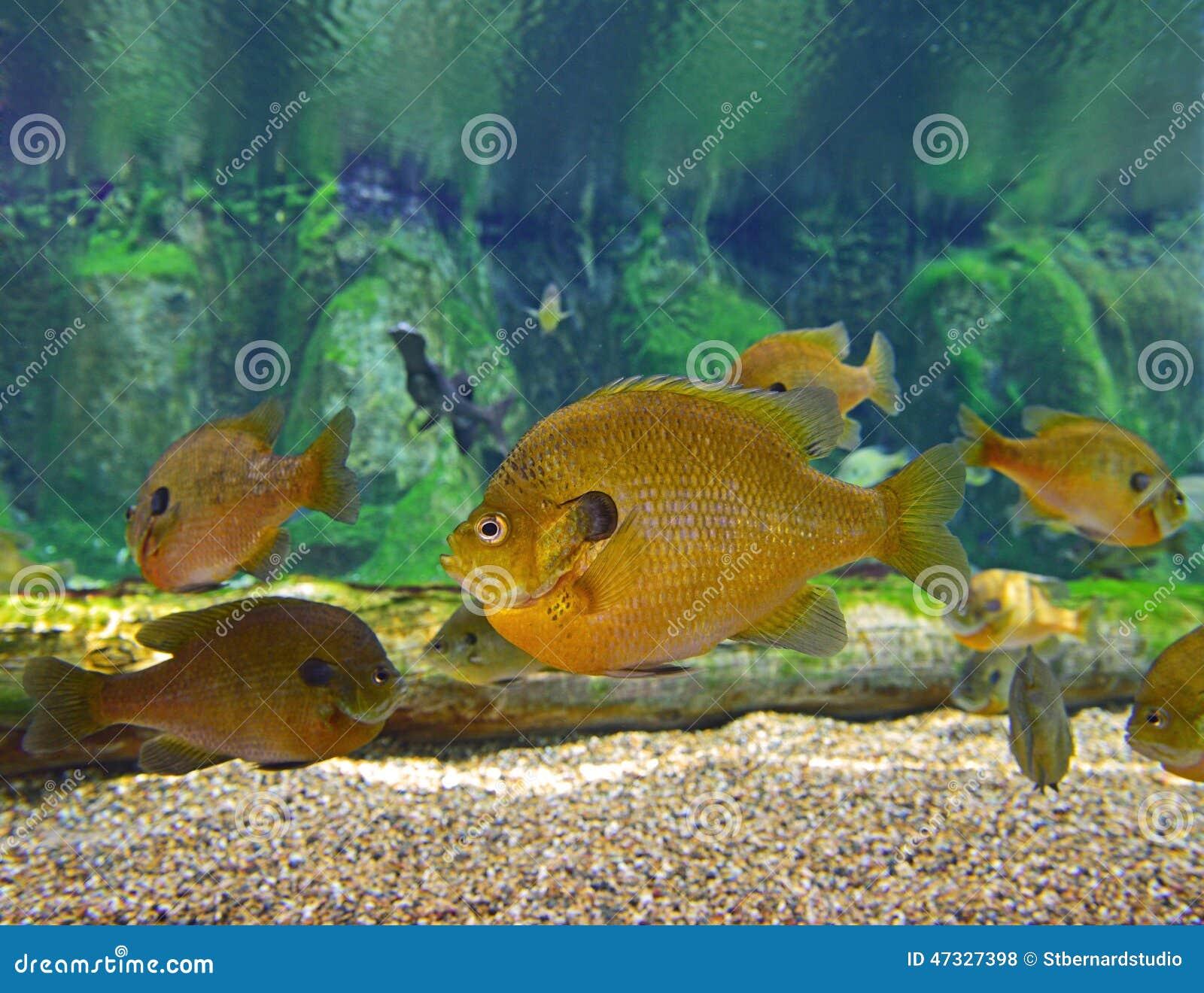 Une école De Sunfish De Poisson De Soleil Photo stock - Image du ...