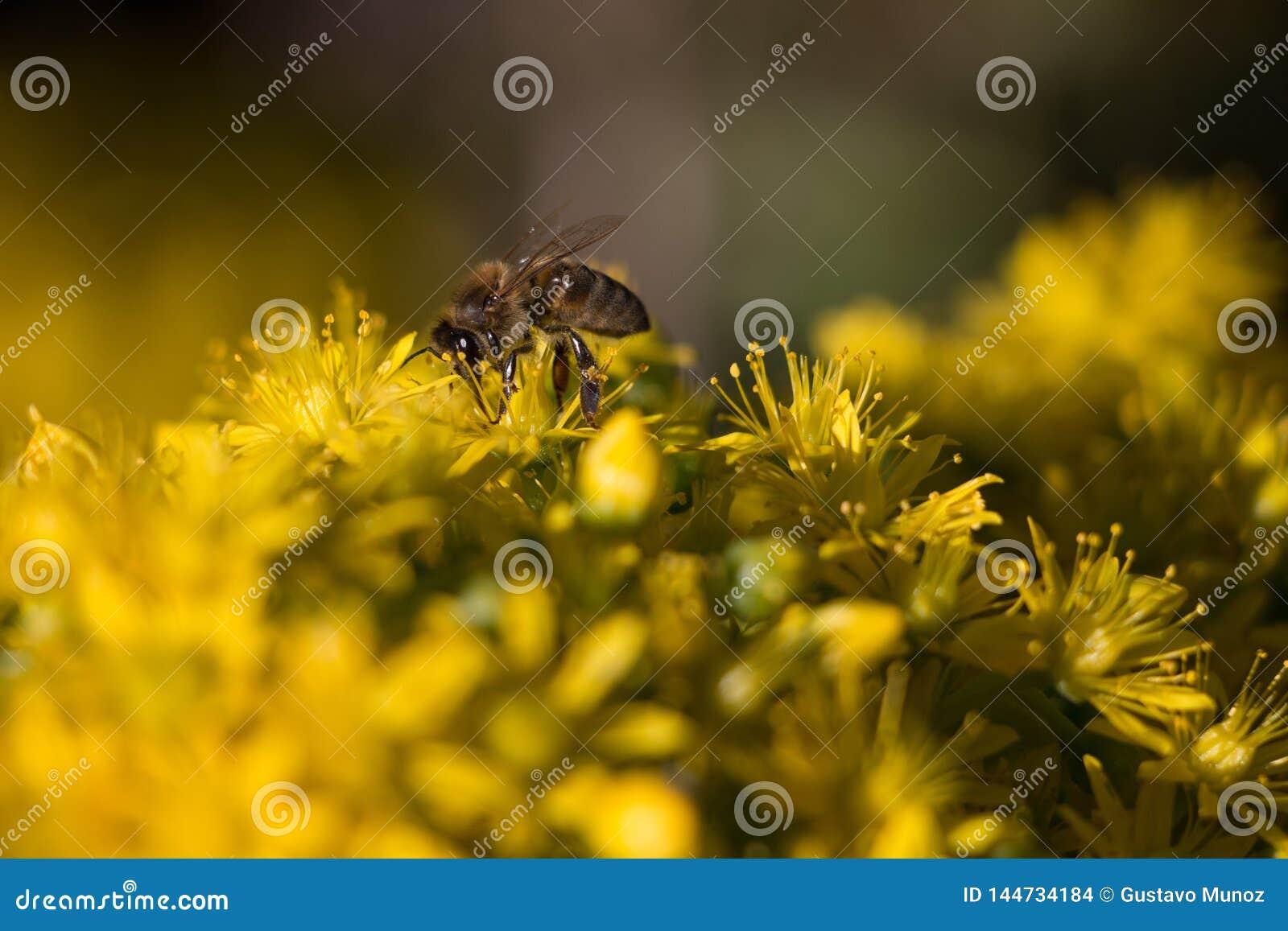 Une abeille rassemblant le pollen des fleurs jaunes