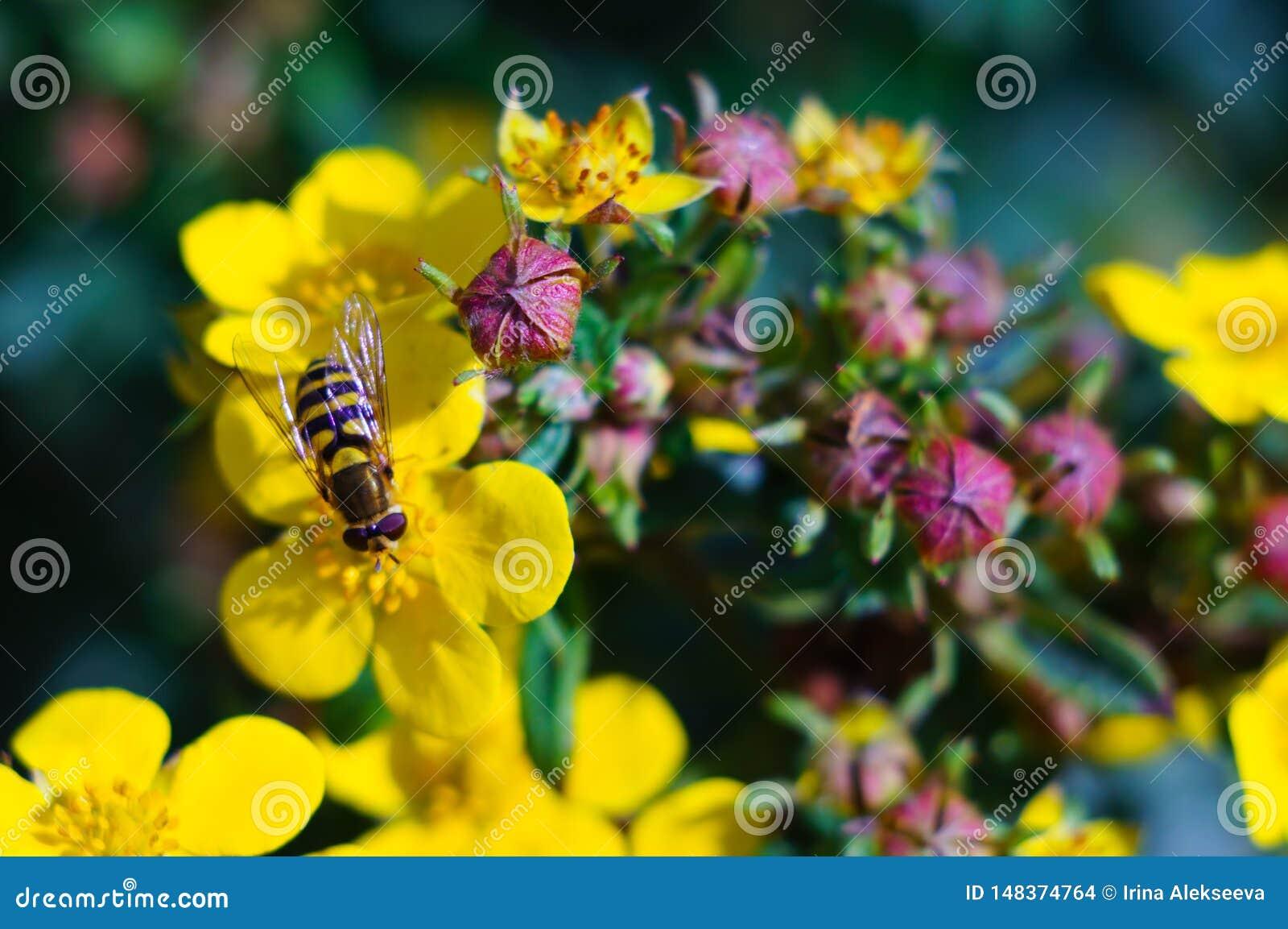Une abeille rassemble le nectar sur une fleur jaune un jour ensoleill? clair Plan rapproch? Concept d ?t? Orientation molle