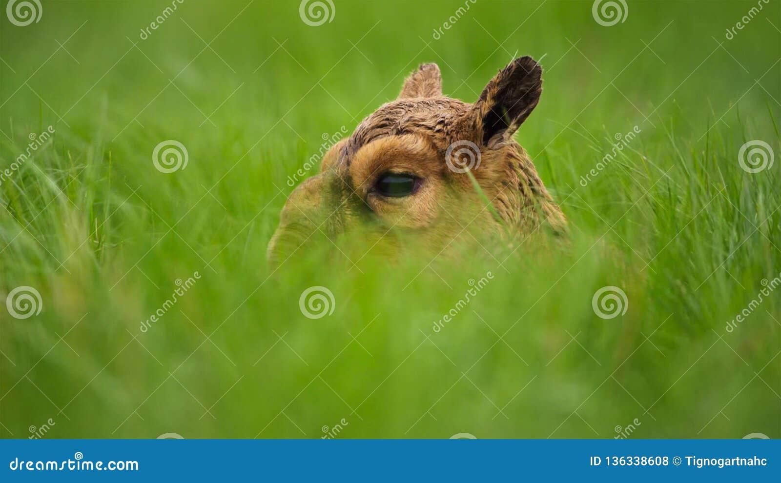 Une antilope de saiga de bébé Jusqu à ce qu ils puissent se tenir, leur mère les a laissés cachés dans l herbe Ils devraient être