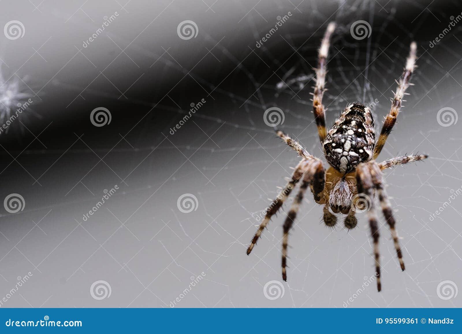 Une araignée de jardin