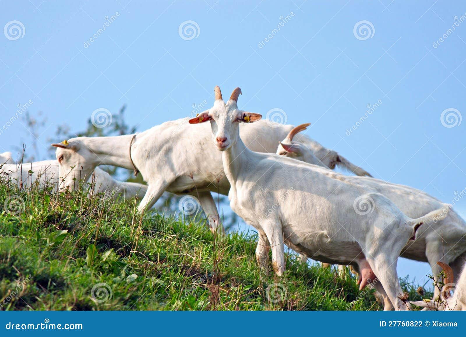 Une bande de chèvres