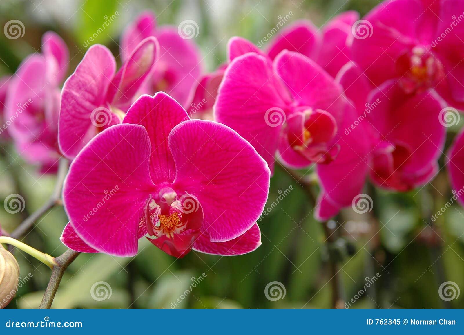 Une batterie des orchidées roses