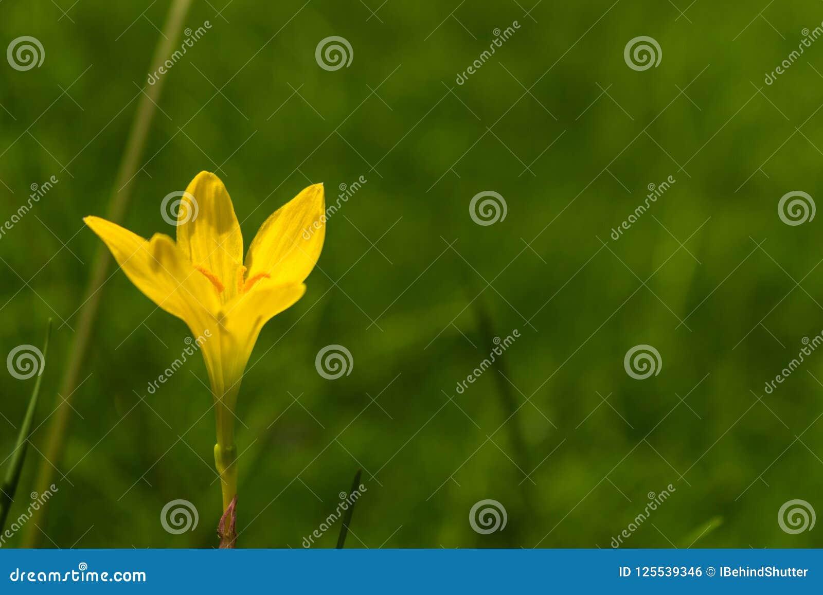Une belle de jour fleur jaune simple lilly