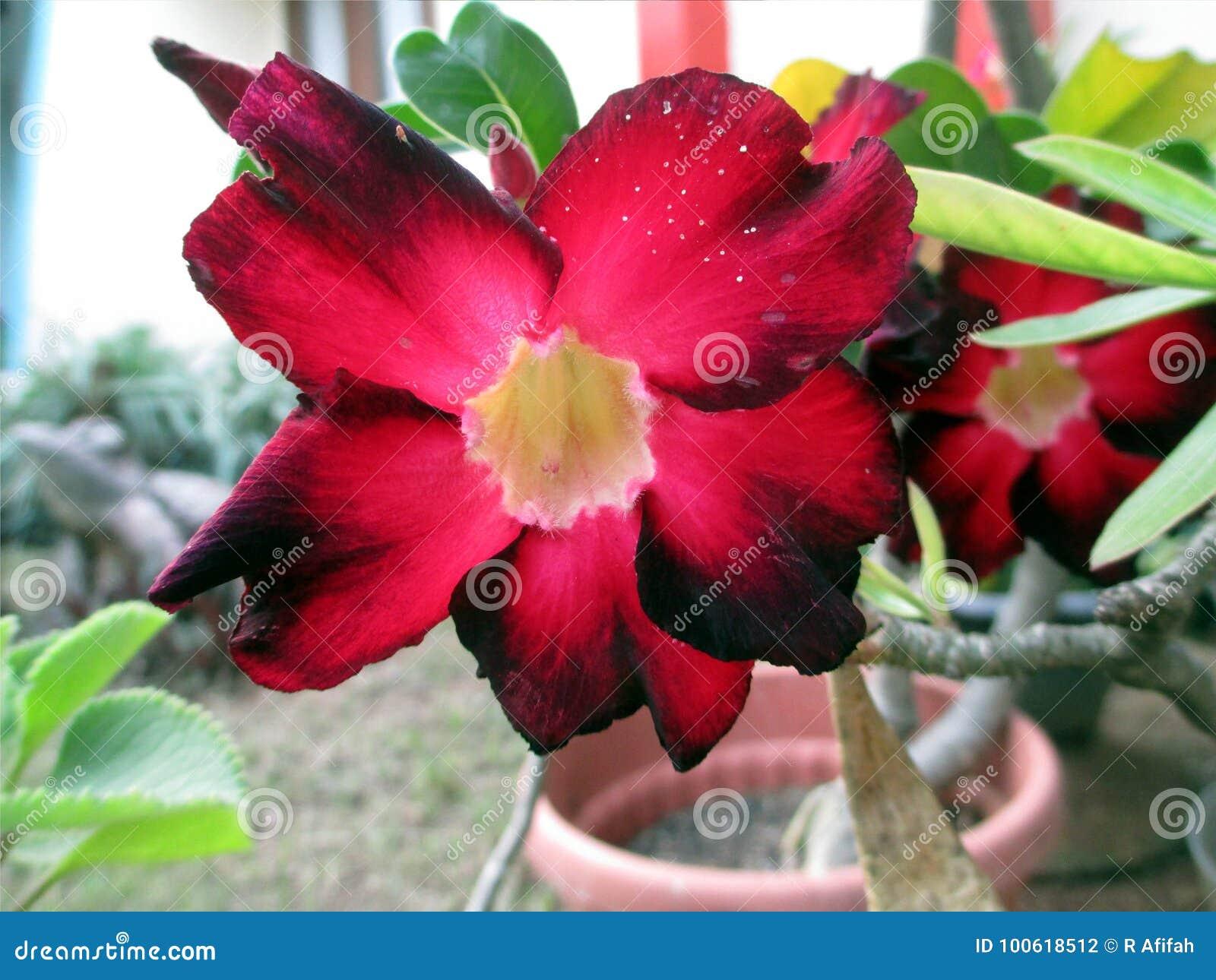 Une Belle Fleur Rouge D\'euphorbe D\'Ombre Dans Le Jardin Photo stock ...