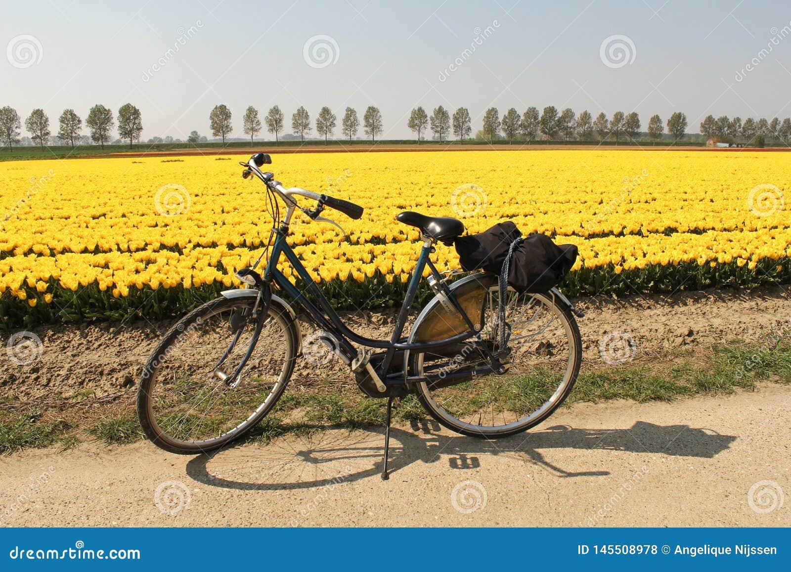 Une bicyclette devant un champ jaune de tulipe en Hollande à un jour ensoleillé au printemps