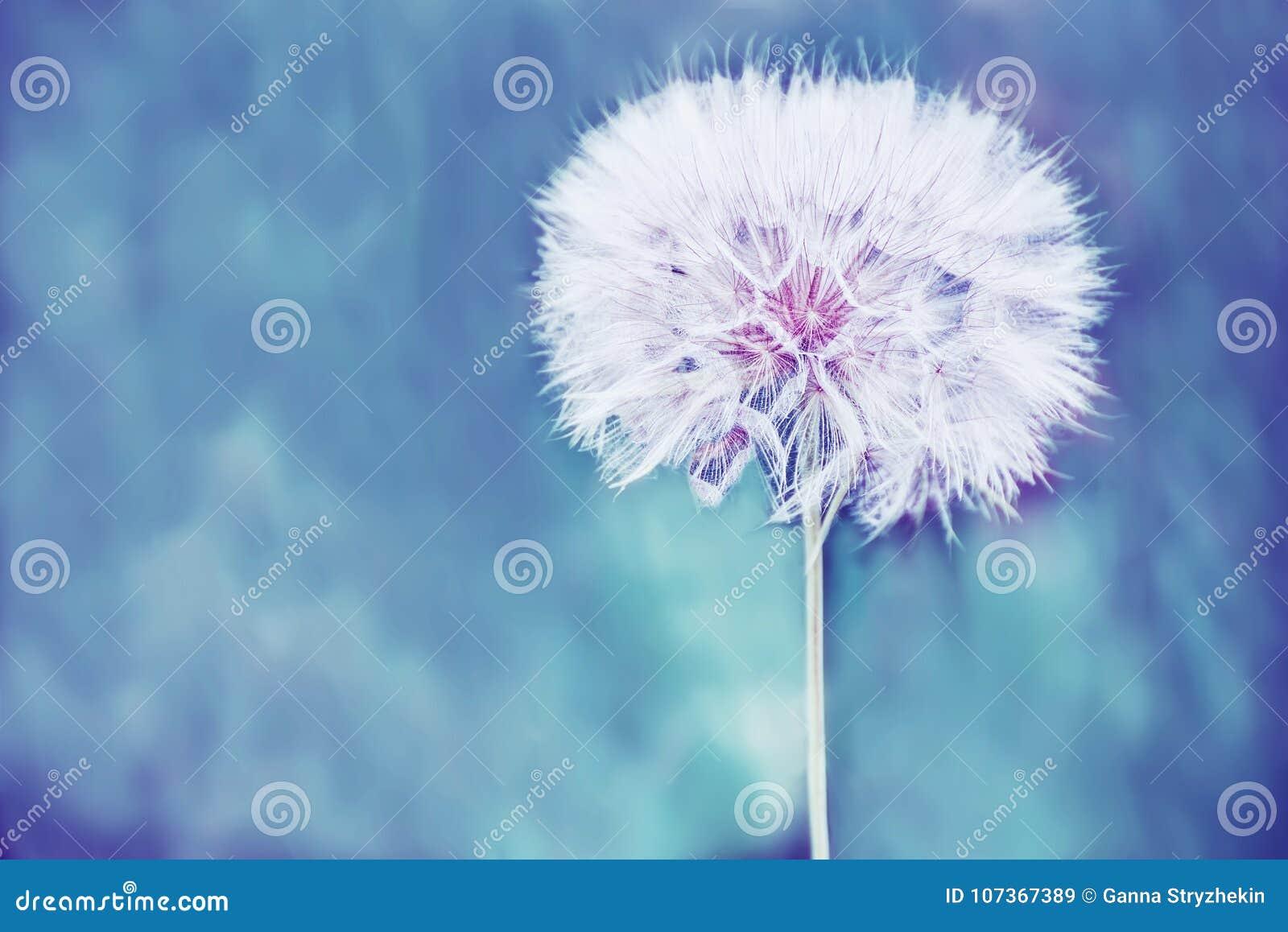 Une Boule Blanche Pelucheuse énorme De Fleur De Pissenlit Image