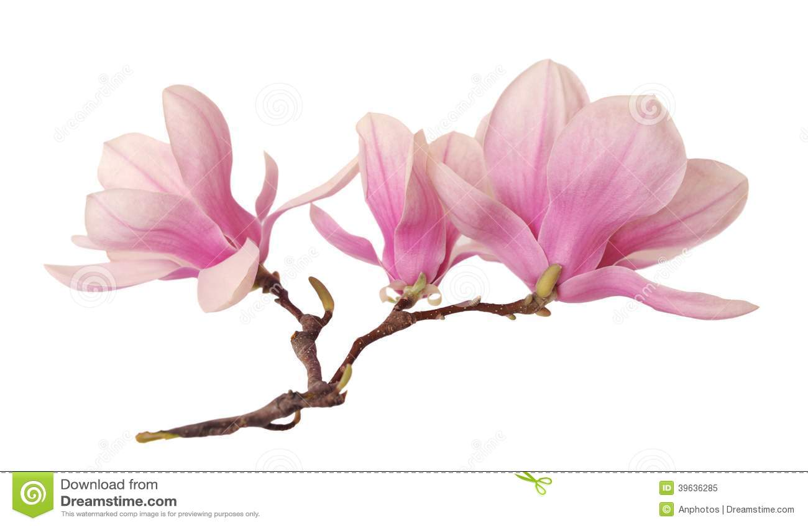 une branche de fleur de magnolia photo stock image 39636285. Black Bedroom Furniture Sets. Home Design Ideas