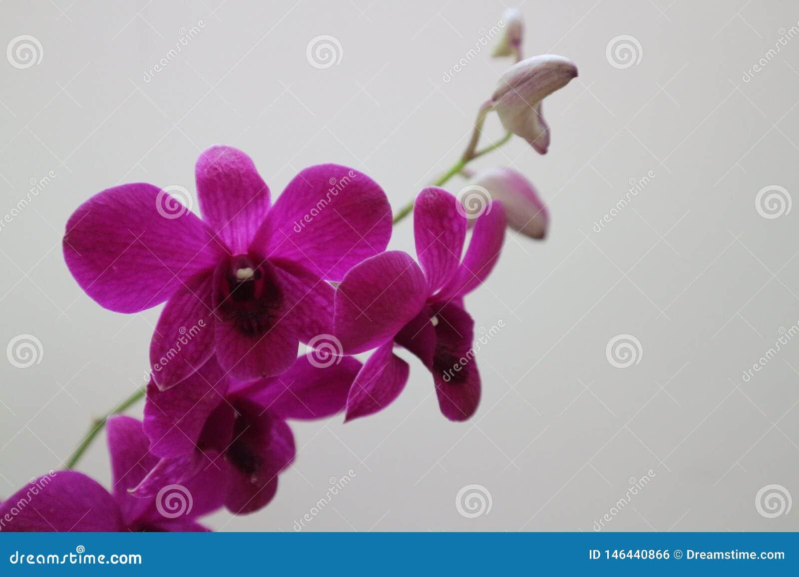 Une branche des fleurs pourpres d orchidée sur le mur blanc