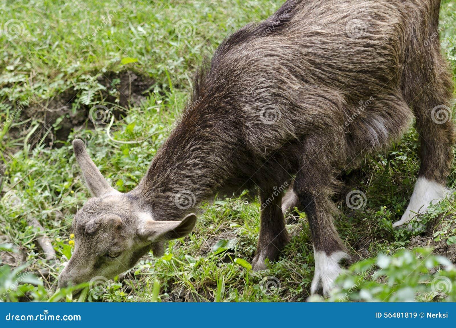 Une chèvre dans la cour