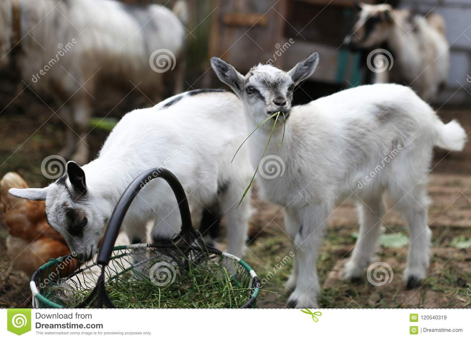Une chèvre de bébé mangeant l herbe