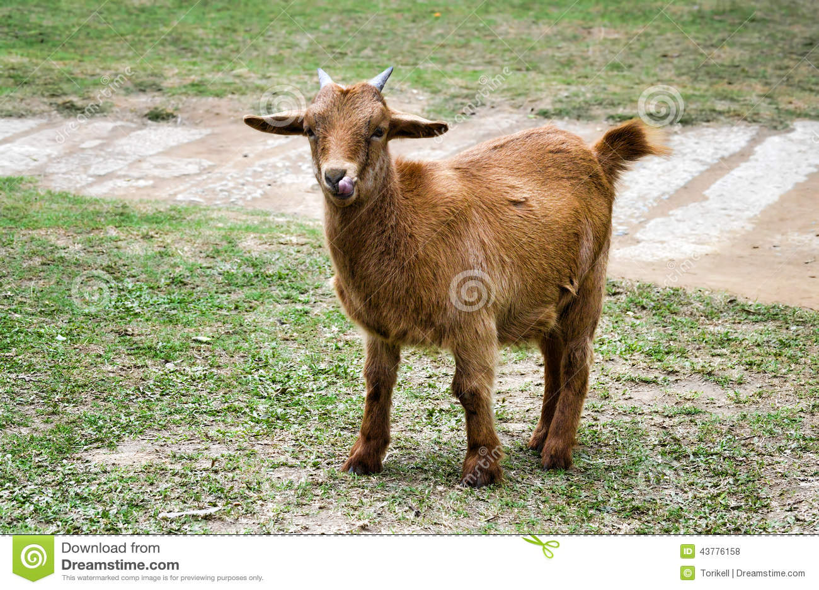 Une chèvre orange lèche son nez, pleine vue de corps