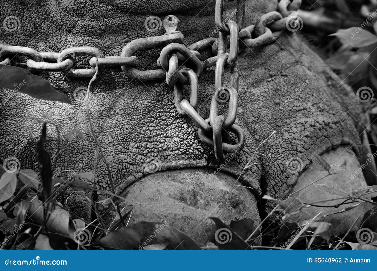 Une chaîne attachée au pied d un éléphant