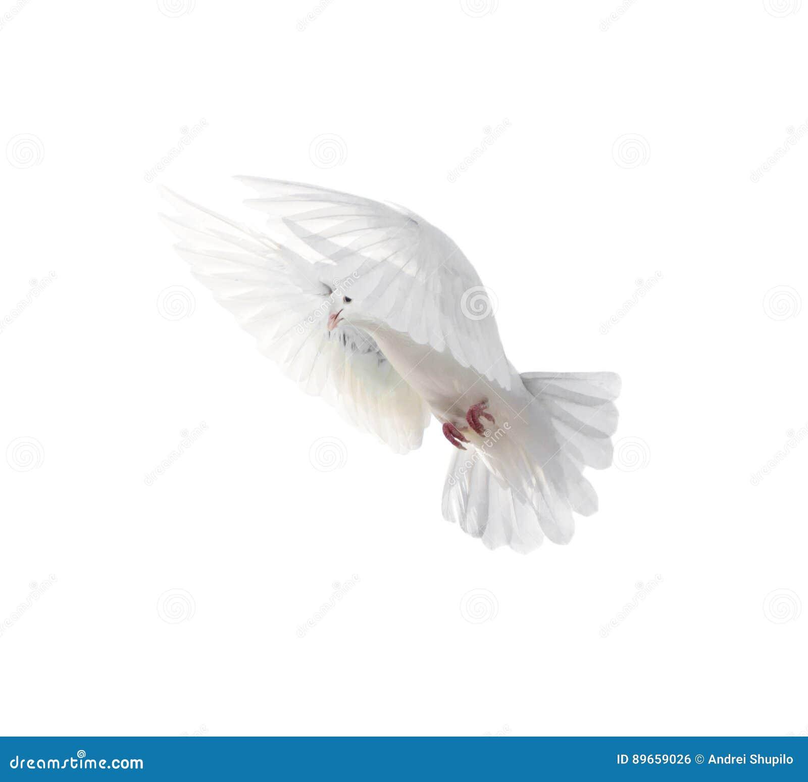 fond d'ecran gratuit colombe