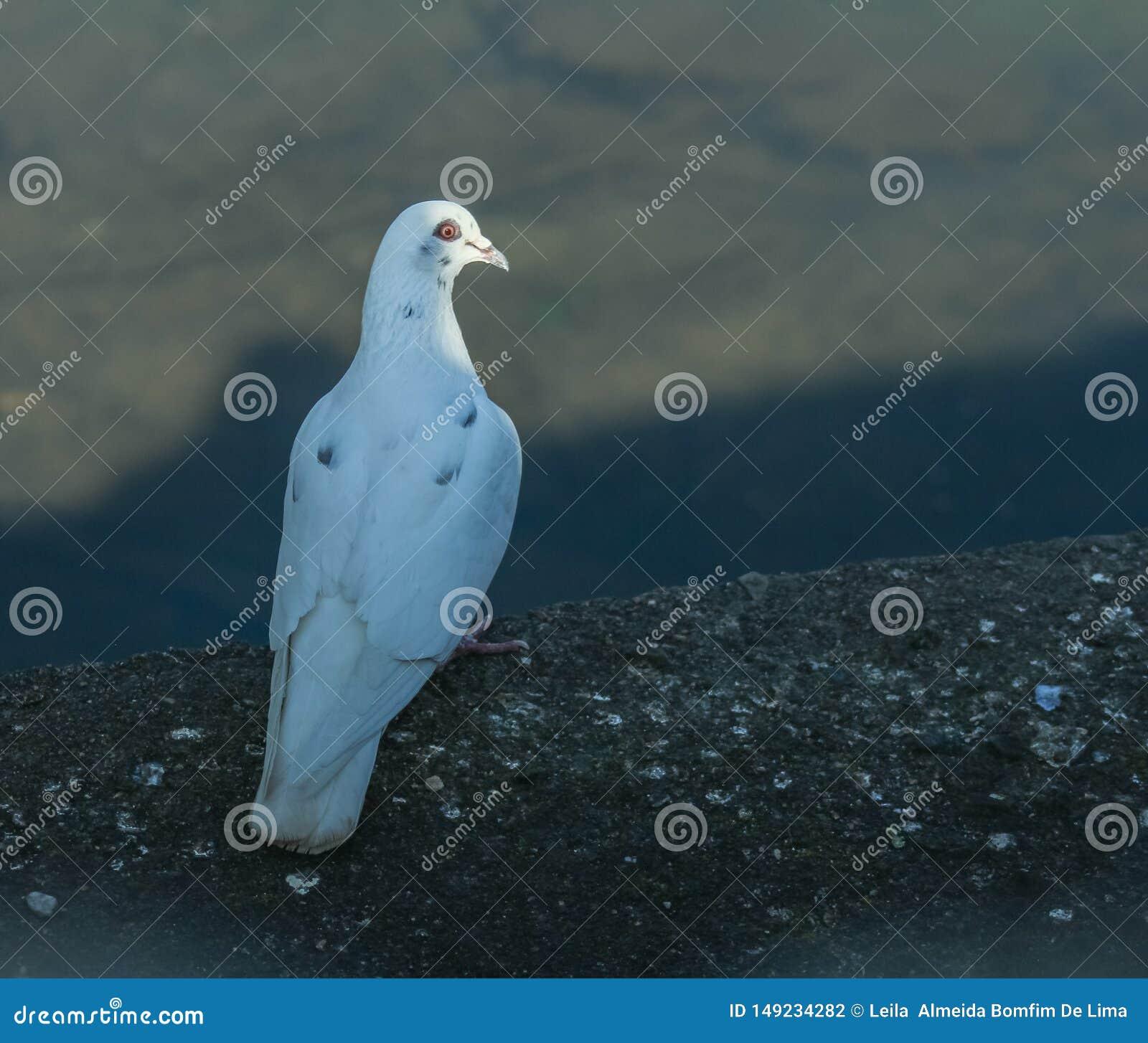 Une colombe blanche regarde une plaine