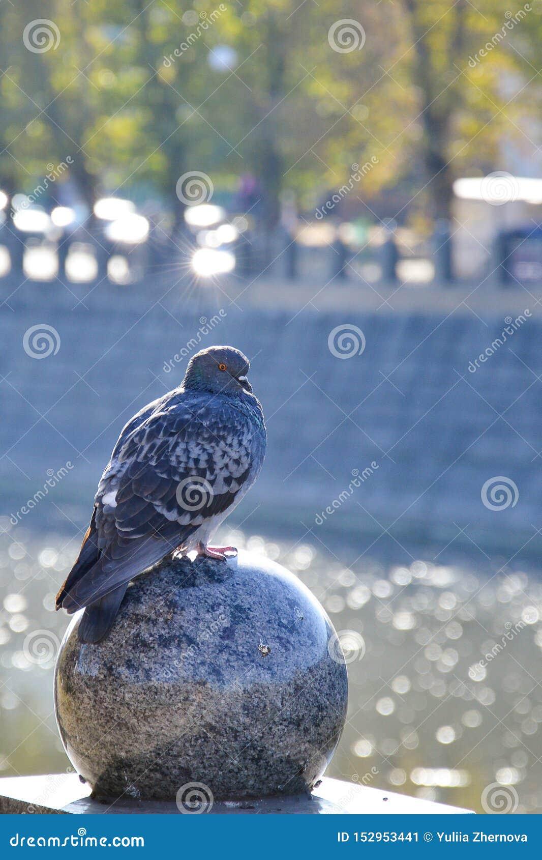 Une colombe seule dans une grande ville