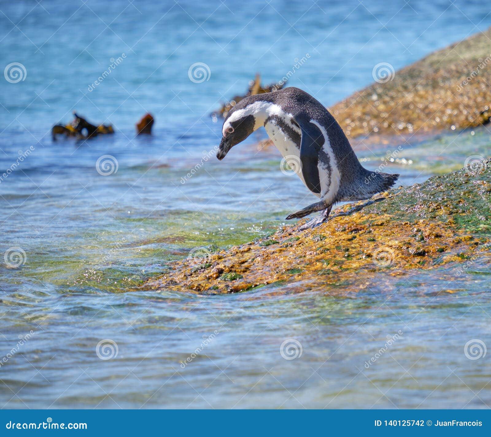 Une colonie plus audacieuse de pingouin