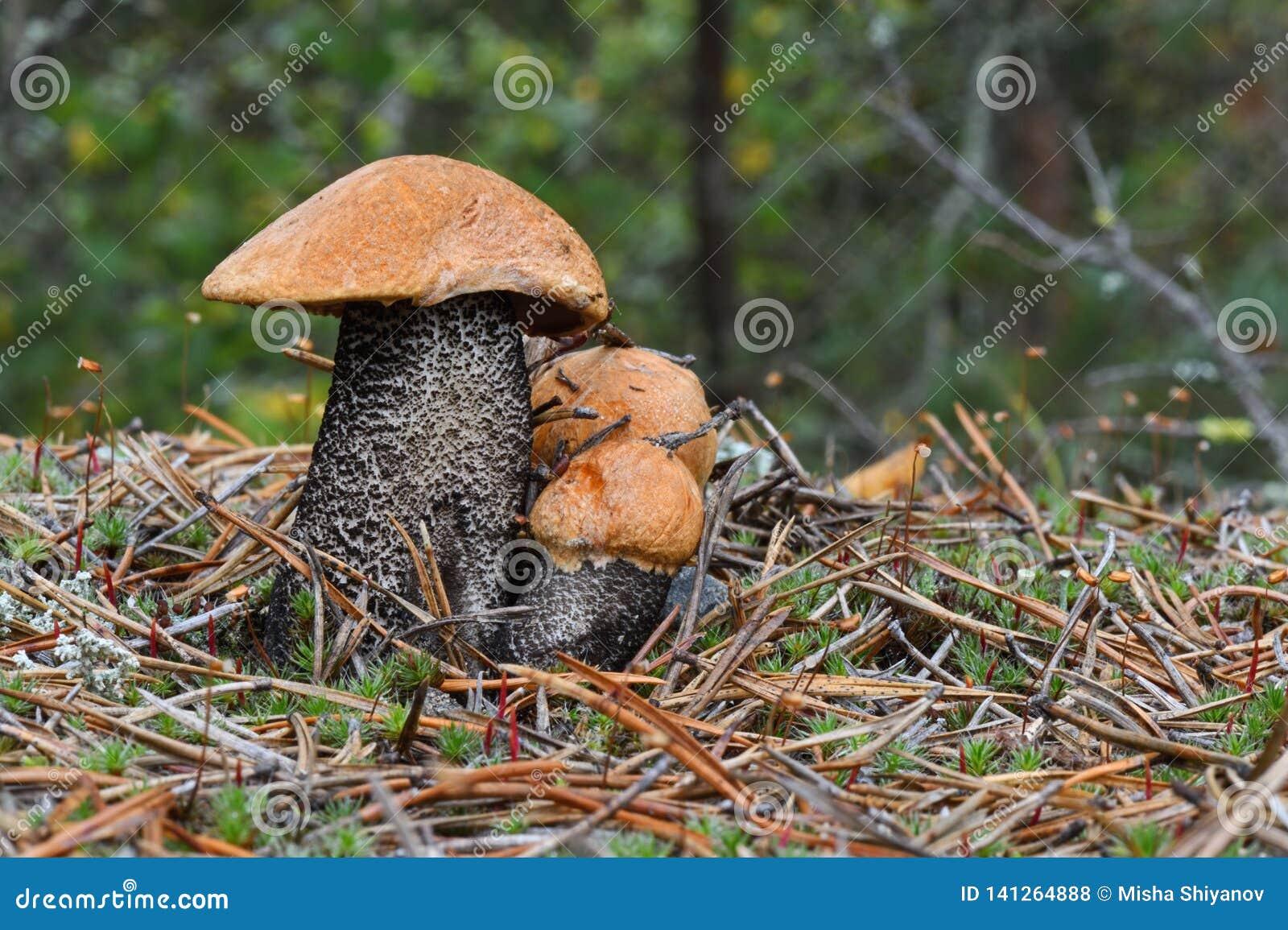 Une famille du scaber trois rouge-couvert mignon égrappe l aurantiacum de Leccinum dans le pin que les aiguilles se ferment  Cham