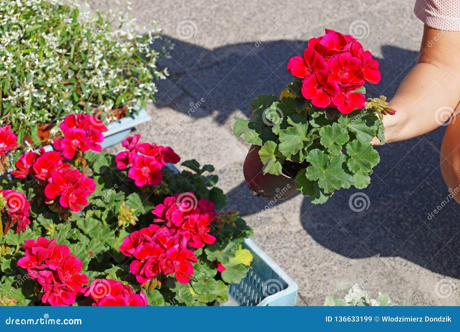 Une femme choisissant des fleurs de pélargonium avant l achat Généralement connu comme géraniums, pélargonium, ou storksbill Spri