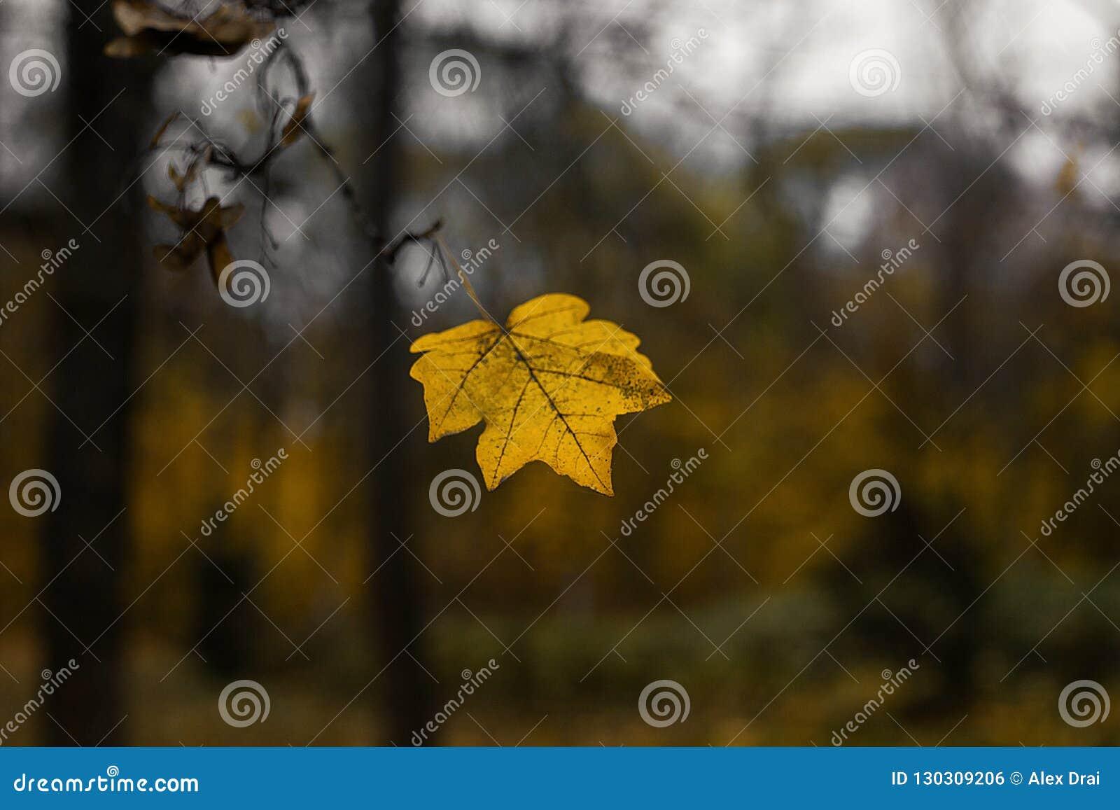 Une feuille jaune foncée sur la branche d arbre Les feuilles tombe dans la chute
