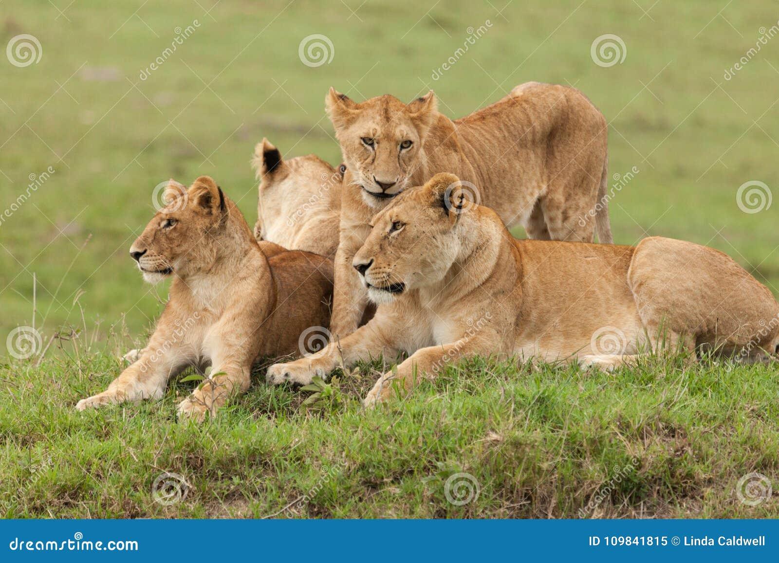 Une fierté des lions sur l herbe