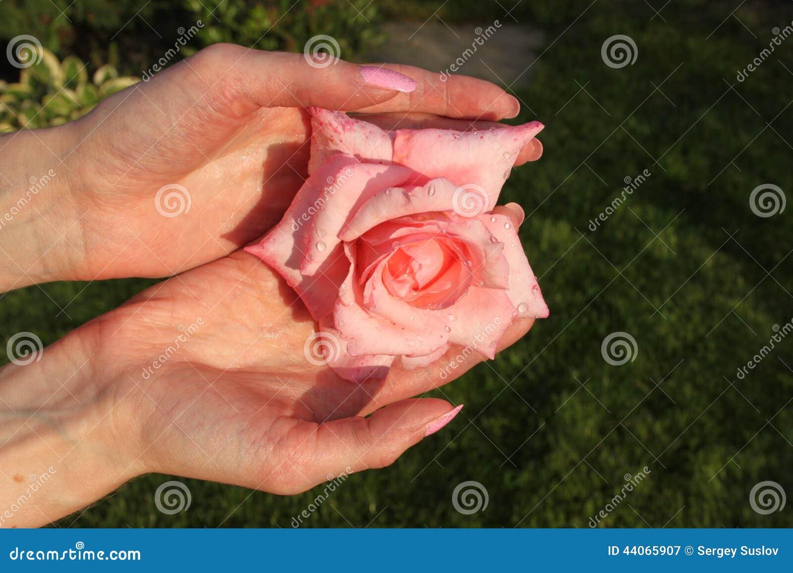 Une Fille Tient La Fleur De Rose De Rose Avec Des Gouttes De L Eau A