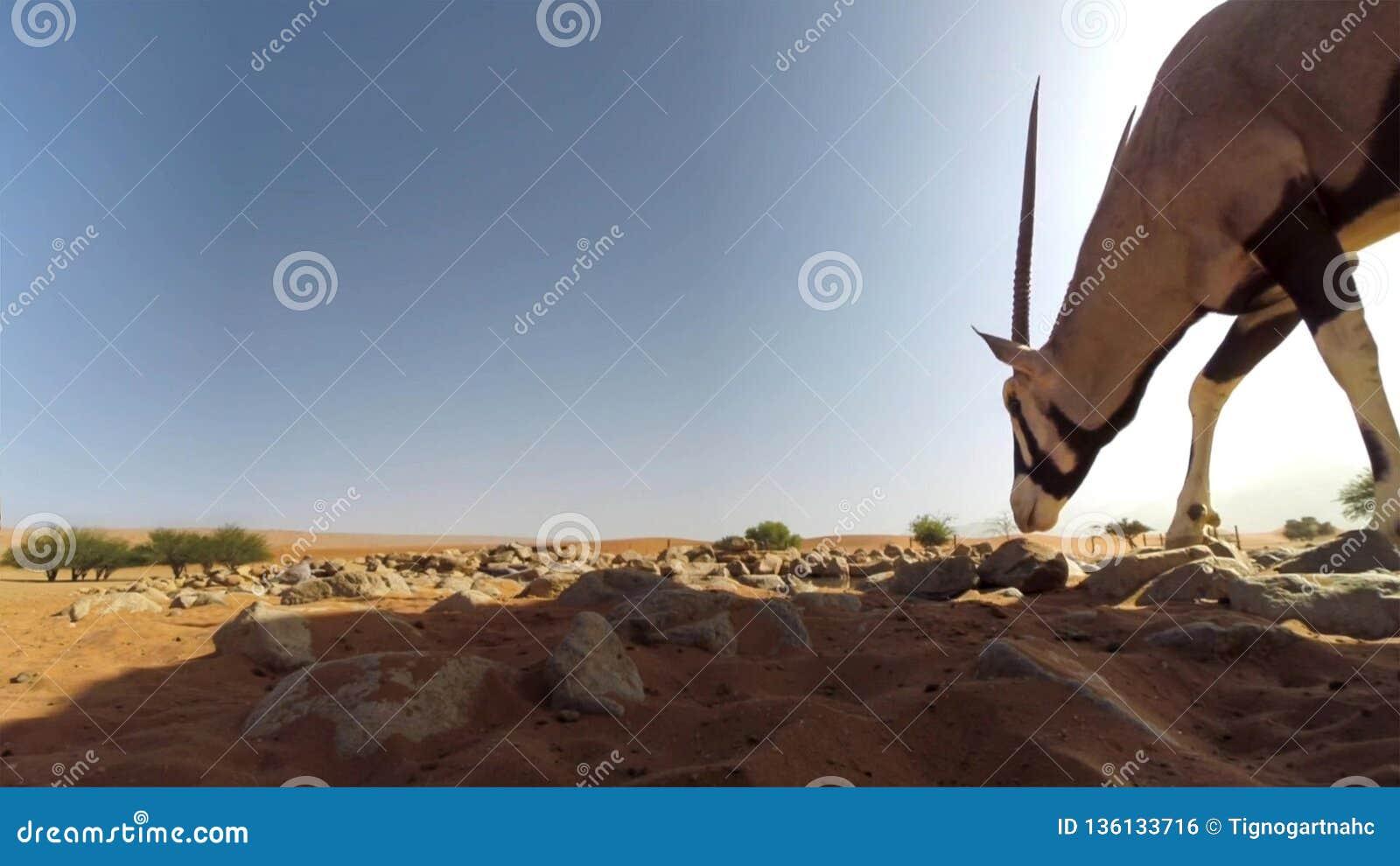 Une fin adulte de gazelle d oryx de Gemsbok sur le fond de désert, parc national franchissant les frontières de Kgalagadi, Afriqu