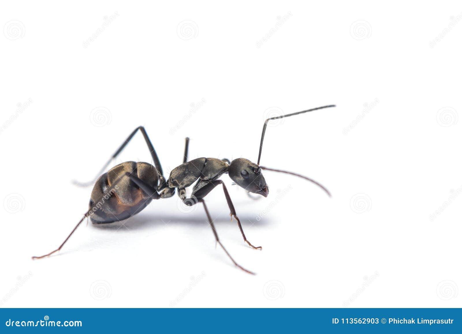 Une fin vers le haut du tir de la fourmi de charpentier d isolement sur le fond blanc